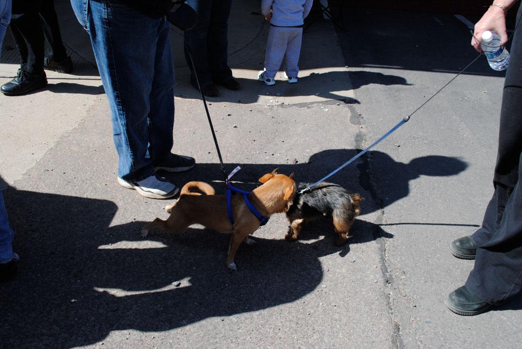 Apache Leap Chichua dogs race 001