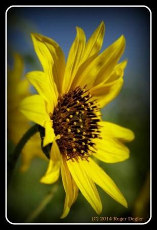 RogerDeglerSunflower