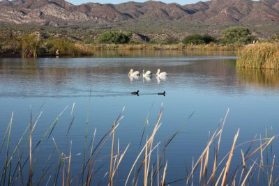 Three large pelicans were spotted at the Kearny Lake Saturday morning. They may have been disappointed not to find any fish in the lake. Photo by James Carnes