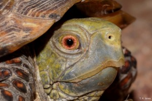Game and Fish Reminds the Public Not to Take Box Turtles from the Wild
